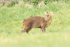 Muntjac Buck - in the meadow III (glostopcat) Tags: muntjacdeer buck deer animal mammal wildlife glos april spring