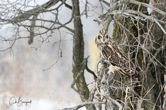 Hibou des marais (Short-eared Owl) (chbourgault) Tags: oiseau shortearedowl ontario hiboudesmarais amherstisland nikon