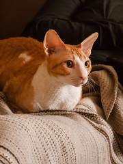 __1240333_cut (daniel kuhne) Tags: katze cat cornishrex zimtschnecke bildungsfernsehen mft panasonic gf1