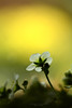 glow (srepton) Tags: flora flower fleur flowers gold golden nature nikon naturephotography macro macrophotography magical