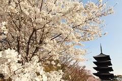 Sakura (Teruhide Tomori) Tags: sakura cherry spring tree pagoda 五重塔 kyoto japan japon toji architecture building construction roof tradition 京都 東寺 寺院 春 桜 山桜 日本 庭園 garden