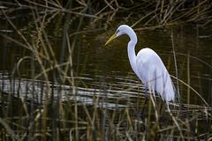 His Private Pool... (Selkii's Photos) Tags: birds california casmerodiusalbus egret elliscreekponds greategret petaluma