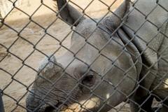 Safely Trapped (akaRicardo) Tags: sandiego safaripark 1855mm kitlens d3200 nikon fence cage nature animal zoo rhino