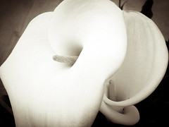 From The Most Unlikely Places (Jeremy Brooks) Tags: bw blackwhite blackandwhite california callalily contracostacounty flower nature richmond usa iphone lily unitedstates us