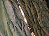 Split (joeke pieters) Tags: 1380635 panasonicdmcfz150 boom tree gespleten spleet split schors bark woold winterswijk achterhoek gelderland nederland netherlands holland