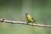 Tarin sur sa branche (mirage 31) Tags: ariège carduelisspinus ddo eurasiansiskin fringillidés mazères passériformes tarindesaulnes bird oiseau