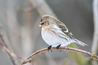Hrímtittlingur - Hoary redpoll - Carduelis hornemanni
