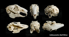 Lapin (achrntatrps) Tags: crânes skulls bones os animals nikkor d800 pce45mmf28 alexandredellolivo suisse lachauxdefonds lycéeblaisecendrars collection sb900 sb800 achrntatrps achrnt atrps photographe photographer flash