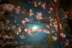 (y.kobayashi) Tags: night moon nikon d750 distagon 35mm f14 narita japan 成田山 cherryblossom tree