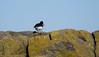 Ostrero  Euroasiatico (TONICOSTA) Tags: ostrero islamay tonicosta eventura pajaros escocia
