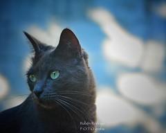 Cats (Mister Blur) Tags: happy furry friday blue russian cat gato azul ruso portrait depthoffield dof snapseed nikon d7100 rubén rodrigo fotografía littledoglaughedstories