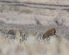Sandhill Cranes (J.B. Churchill) Tags: birds cranes garrett maryland places rocklodgeroad sacr sandhillcrane taxonomy accident unitedstates us