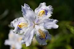 DSC01404 (Kotaro_Nakagawa) Tags: sony e ilce6000 sel30m35 flower macro