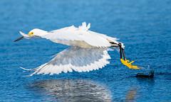 Acrobatics (agnish.dey) Tags: bird birdwatching birding wildlife wadingbird wings water white blue naturallight nature naturephotograph nikon florida flight