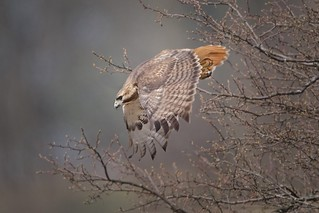 Red Tail Heading Down for Lunch
