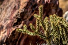Desert Cactus (ap0013) Tags: cactus plant desert mountain red rock canyon las vegas nevada redrock redrockcanyon desertcactus lasvegas lasvegasnevada