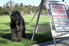 """The very, very rude sign!""   by Benni Girl (Bennilover) Tags: soccerfield signs bad dog dogs lacrosseball labradoodle benni fun playing running bennigirl 52weeksfordogs sign warning"