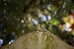 the bird (Sabinche) Tags: sabinche gravestone tombstone cemetery graveyard birdssculpture bokeh hbw canoneos7dmarkii