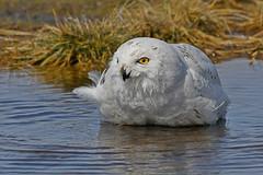 Snowy Owl (Steve Liffmann) Tags: snowyowl