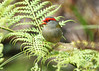 Red-browed Finch (Neochmia temporalis) (Greg Miles) Tags: redbrowedfinch neochmiatemporalis scottshead gaagalwanggaannationalpark newsouthwales australia