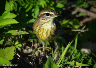 Palm Warbler, Birds of the Circle B Bar Reserve