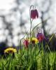 The Dandelion and Snakeshead (photofitzp) Tags: abbeyfields dandelion flowers kenilworth meadows snakesheadfritillary spring wildflowers