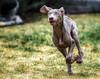 Run Boo, Run! (Explored) (Neil_Wagner) Tags: boo weimaraner puppy running happy cute