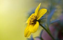 zur Sonne hin - towards the sun (huetteberg) Tags: botanik pflanze blume blüte natur outdoor frühling bloom blossom macro makro canon 7d huetteberg