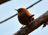 Spring Is Coming! (Larry Wilkin) Tags: photo camera nikon nikond5200 nikonnikkor55300mm nature animal bird wren winterwren troglodyteshiemalis migration springmigration chicago lincolnpark northpond