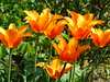 2018 Germany // Unser Garten - Our garden // im April // Tulpe (maerzbecher-Deutschland zu Fuss) Tags: garten natur deutschland germany maerzbecher garden unsergarten 2018 april tulpe