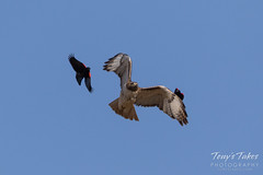 Red-winged Blackbirds attack Red-tailed Hawk
