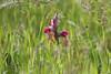 Serapias neglecta (Carla@) Tags: serapiasneglecta orchidea wildorchid wildflowers nature liguria italia europa mfcc canon