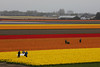 IF8A0230 (cwhilbun) Tags: bride tulip tulipfield orange yellow lisse holland netherlands