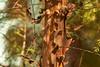 Redshanks 1 (Aerogami.com) Tags: redshanks ribbonwood red rusty bark curly peeling california bokeh