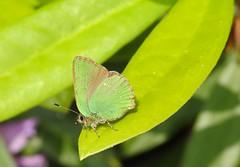 Green Hairstreak (Callophrys rubi) (Nick Dobbs) Tags: green hairstreak butterfly callophrys rubi insect heath heathland dorset macro
