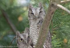 Screech Owlets (rdroniuk) Tags: birds raptors owls owl birdsofprey screechowl megascopsasio easternscreechowl oiseaux rapaces oiseauxdeproie petitducmaculé hiboux screech graymorphscreechowl easternscreechowlfledglings