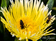 Bees on Hottentots Fig.jpg (peter.jaquire) Tags: hottentotsfig melkbostrand capetown honey bee yellow flower succulent