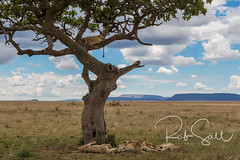 Tree Climbing Lions of the Serengeti (robsall) Tags: 2016 24105 24105f4isusm 5dm3 5dmark3 5dmarkiii 5dmiii africa africatourism africawildlifephotography africanwildlife big bigcat bigcats canon canon24105f4isusm canon24105mm canon5d canon5dmarkiii canon5dm3 canoneos canoneos5dm3 carnivore cat endangered family feline largefelines lion lioness lions mammal pantheraleo predator robsallaeiral robsalldrone robsalldronephotography robsallphotography robsallwildlifephotography serengetinationalpark tanzania tanzania2016 treeclimbinglion treeclimbinglions vacation vulnerable mararegion