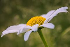 Daisy (Hilde Carmans) Tags: amateurphotography amateur sigma18250mm sigma nikond5500 nikon macrophotography macro bokeh colors color springtime spring flowers flower daisy
