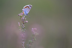 Heideblauwtje - Silver-studded blue (Wim Boon (wimzilver)) Tags: wimboon macro macrofotografie canoneos5dmarkiii canon100mmf28lismacro nederland netherlands natuur nature vlinder butterfly