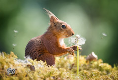 red squirrel is looking at dandelion seeds (Geert Weggen) Tags: change dandelion nature wind springtime newlife freedom aspirations lifestyles luck flower wishing backgrounds concepts allergy summer pollen individuality dandelionseed season time environmentalconservation greencolor sunlight field nopeople seed flying enjoyment fragility meadow environment growth morning photography blossom seedling uncultivated weeding freshness beautyinnature copyspace horizontal plant midair plantstem redsquirrel squirrel animal geert weggen ragunda sweden jämtland bispgården