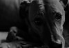 i'm happy or not !! (vieux rêveur) Tags: chien dog perro nb bw noir black negro blanc white blanco noiretblanc