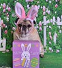 My Little Old Easter Bunny (DaPuglet) Tags: pug pugs easter dog dogs animal animals pet pets bunny rabbit costume spring holiday eggs happyeaster coth5