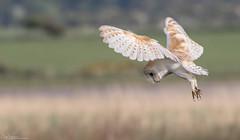 Hovering Barn Owl (Steve (Hooky) Waddingham) Tags: animal bird british barn countryside coast canon nature northumberland flight mice voles hover hunting photography prey wild wildlife