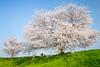 Sakura Viewing (kobaken++) Tags: sakura cherryblossom cpl sky wide japan ko kobaken コバケン 桜 広角