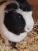 Dutch Guinea Pig (1000 Wildlife Photo Challenge) Tags: guineapig dutchguineapig cute cuteness animal