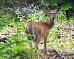Mom In The Woods (jimgspokane) Tags: deer wildlife camping crookedriver idaho
