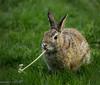 Happy Easter (maureen.elliott) Tags: rabbit bunny animal grass dandelion nature 7dwf fauna handganimalsonly spring