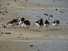 Tide Watch (Glass Horse 2017) Tags: redcar cleveland beach seaside coast coathamsands hightide tideline birds oystercatcher blackandwhite