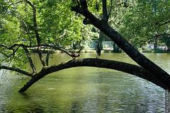 DSC01128 (g.lebloas) Tags: forêt bois arbre eau oiseau héron canard